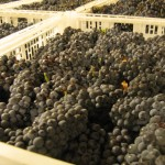 Pinot Noir Grapes.2585