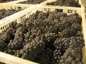 Pinot Noir Grapes.2585